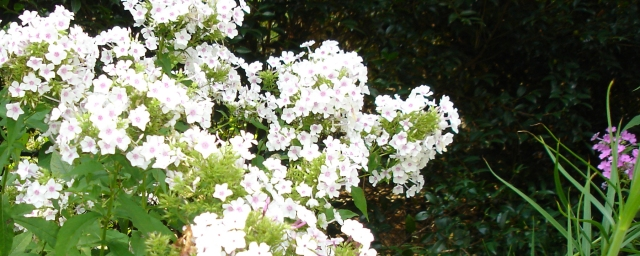 featured_phlox
